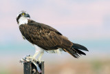 osprey - שלך