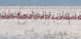 Flamingo - פלמינגו