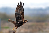 marsh_harrier זרון סוף