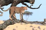 cheetah  ברדלס
