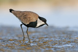 Spur-winged Lapwing - סיקסק