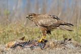 עקב חורף - Common Buzzard