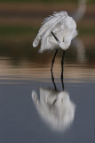 לבנית קטנה   Little Egret