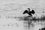 קורמורן - Cormorant