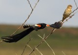 Long-tailed Widowbirds