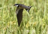 Whited-throated Swallow