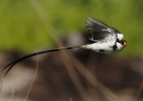 Pin-tail Whydah