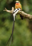Pin-tailed Wydah