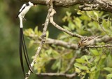 pin-tailed_whydah