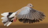 laughing_dove