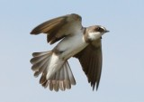banded_martin