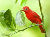 Summer Tanager 2010
