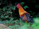 Red Junglefowl - male- 2010