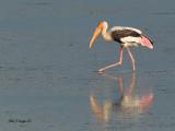 Painted Stork -- sp 160