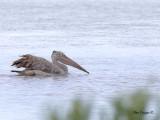 Spot-billed Pelican -- sp 172