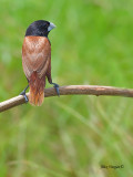 Black-headed Munia - 4