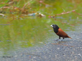 Black-headed Munia - 2