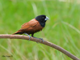 Black-headed Munia - 1