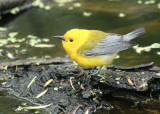 Prothonotary Warbler, Paradise Pond