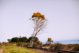Tree_off_Highway_101.jpg