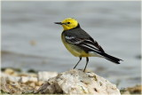 Yellow Wagtail Citrine