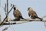 Namaqua Dove Male and Female 1 MG_2121.jpg