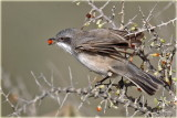 Whitethroat 2.jpg