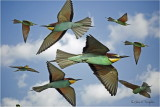 European Bee-eaters Montage