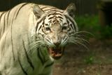 White Tiger - captive