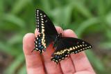 Papillon du céleri / Black Swallowtail