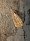 OOTHEQUE MANTE RELIGIEUSE / PRAYING MANTIS COCOON / Mantis religiosa