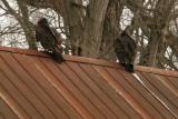 Turkey vulture / Urubu à tête rouge