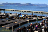 Sea lions off of Pier 39, Golden Gate in the distance