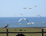 Gulls at Noyo Harbor headlands