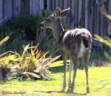 Young resident deer