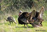 Wild Turkeys of Cherokee