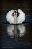 A-Swan-With-Attitude