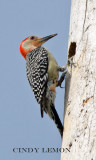 Woodpeckers and Flycatchers of Southeastern US