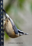 Chickadees, Titmice, and Nuthaches of Southeastern US