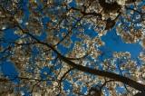 002 Magnolia blossom.jpg