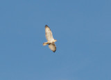 Ferruginous Hawk - 11-10-2012 - immature - distended crop - Bogota WMA.