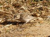 Chestnut-collared Longspur - 11-14-2012 - female - Ensley Bottoms -