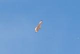 Ferruginous Hawk - 11-24-2012 - immature - Hwy 67 - AR -  upper wings - Dark Primary Coverts.