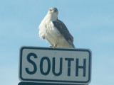 Ferruginous Hawk - 11-24-2012 - immature on Hwy sign -67 - AR.