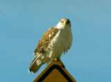 Ferruginous Hawk - 11-24-2012 - immature - AR roadside hawk!