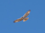 Red-tailed Hawk - 11-24-2012 - immature Krider's intergrade -