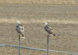 Red-tailed Hawk - 11-24-2012 - Krider's imm and adult - Highway 67 AR.