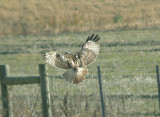 Red-tailed Hawk - 11-24-2012 - Krider's adult
