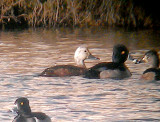 Ring-necked Duck - 12-11-2012 - adult female with white head - Coro Lake Shelby Co. TN.jpg