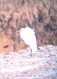 Great Egret - 12-27-2012 - Ensley Bottoms.